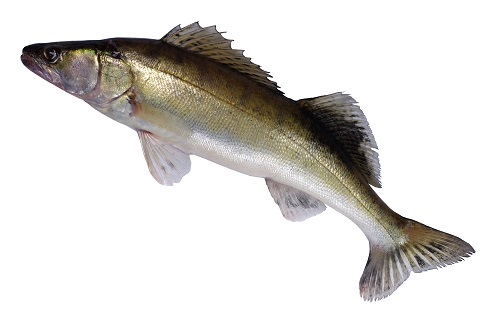 MSC Pikeperch